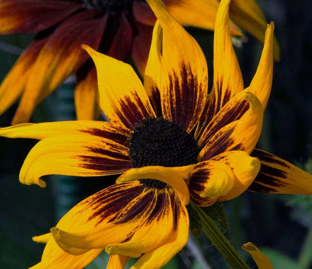 Alaska,yellowflower,sunflower