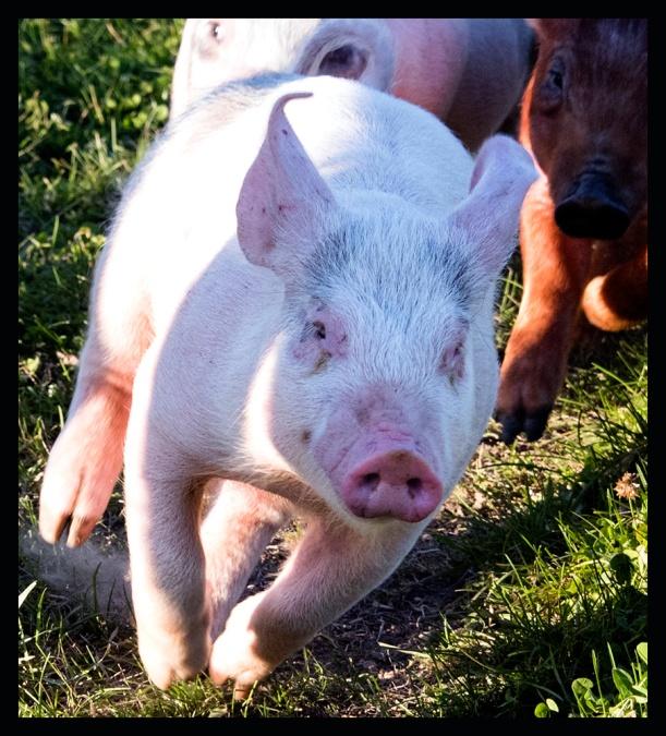 All Seasons Orchard, Woodstock IL,Pig Racubg