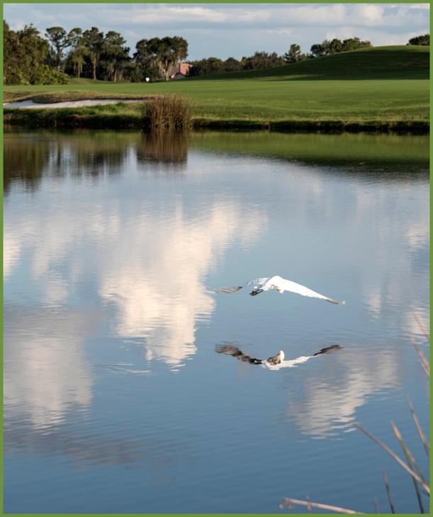 Egret, Bird Diving, Laurel Oak Country Club