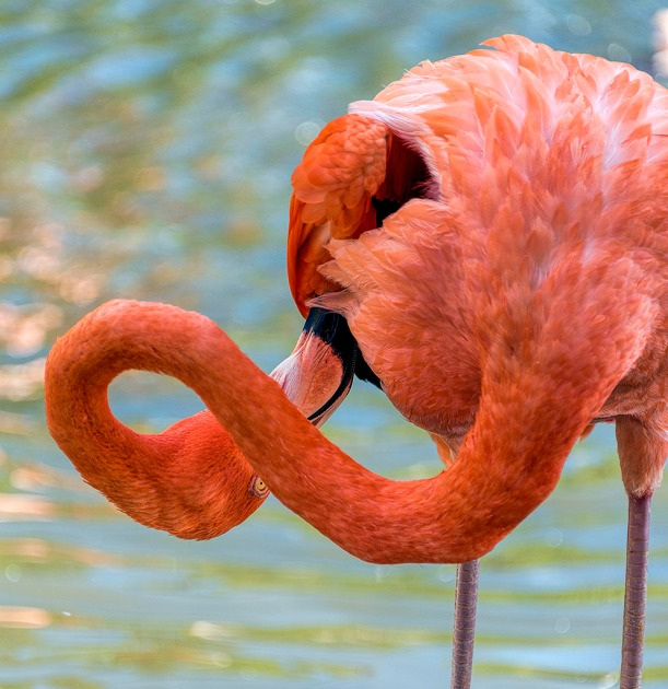 flamingo, jungle gardens, double jointed