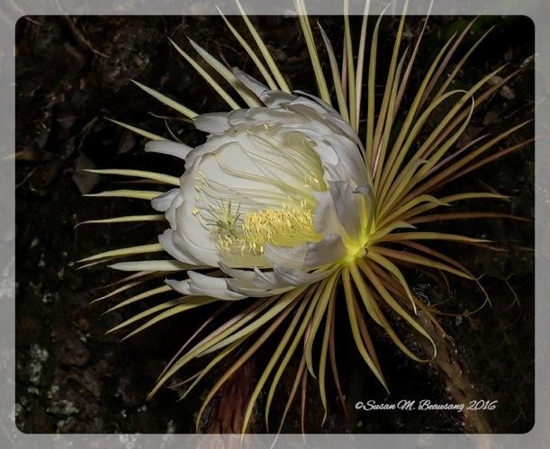 Night Blooming Cereus, Selby Gardens, Sarasota Fl