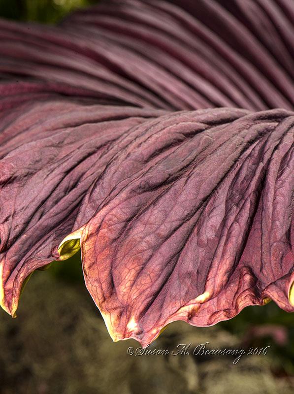 Corpse Plant, Selby Botanical Garden, Sarasota FL
