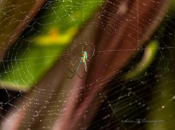 spiderno