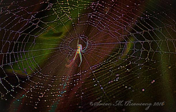Wolf Spider, Sarasota FL. Topaz Glow