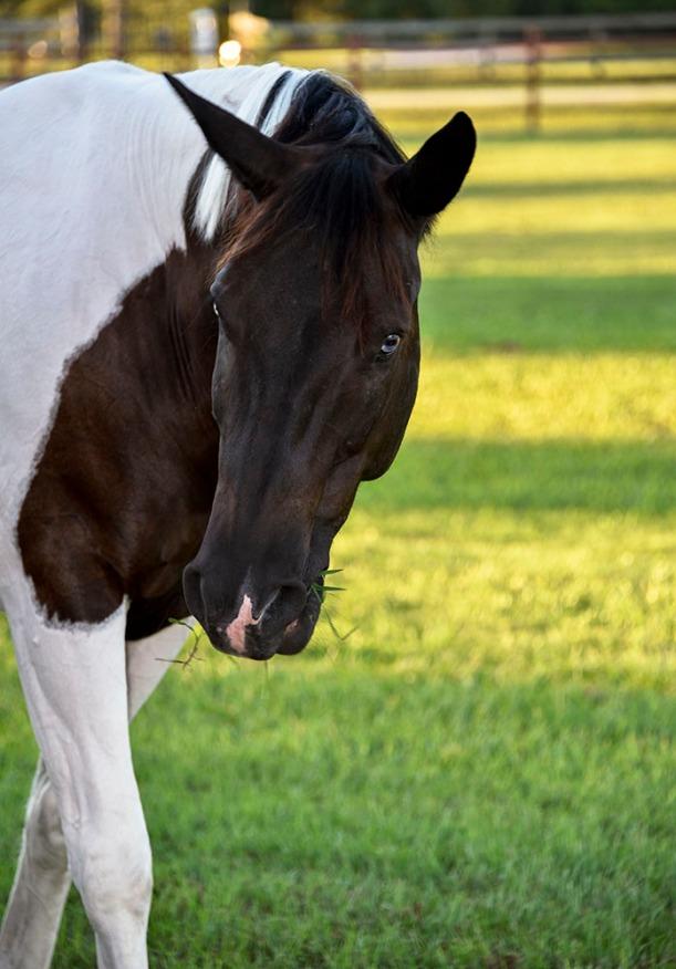 brwhhorse