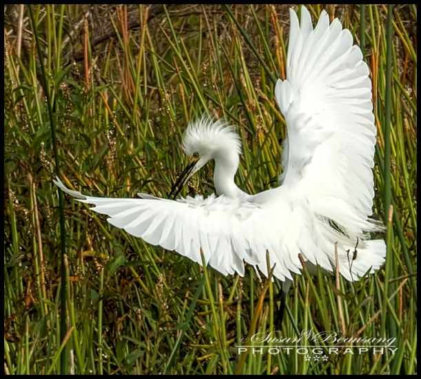 Celery Fields Sarasota FL Great Egret