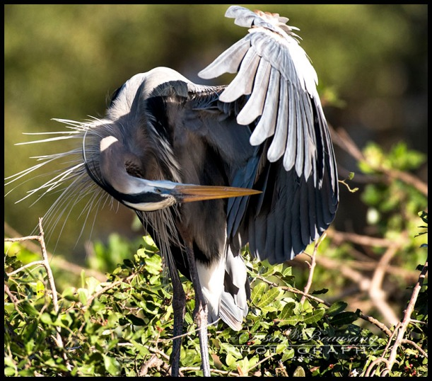 Heron, Venice Rookery, Venice FL
