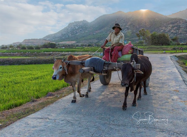 Vietnam, returning home from fields, cows