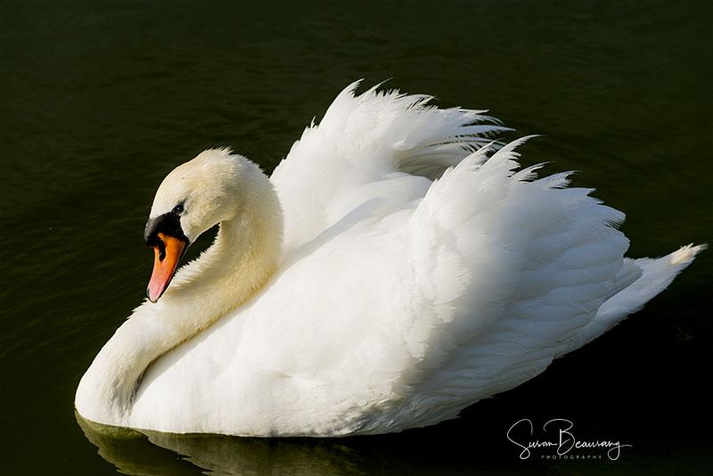 Swan, Sarasota fl