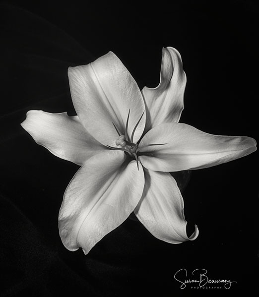 Lilly, Black and White, 50mm