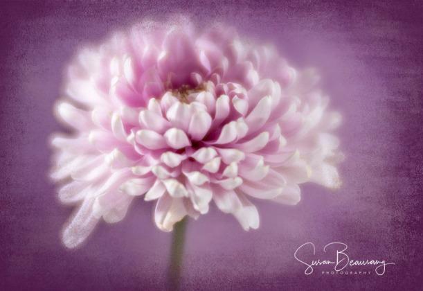 Lens Baby Velvet 85, Purple Mum