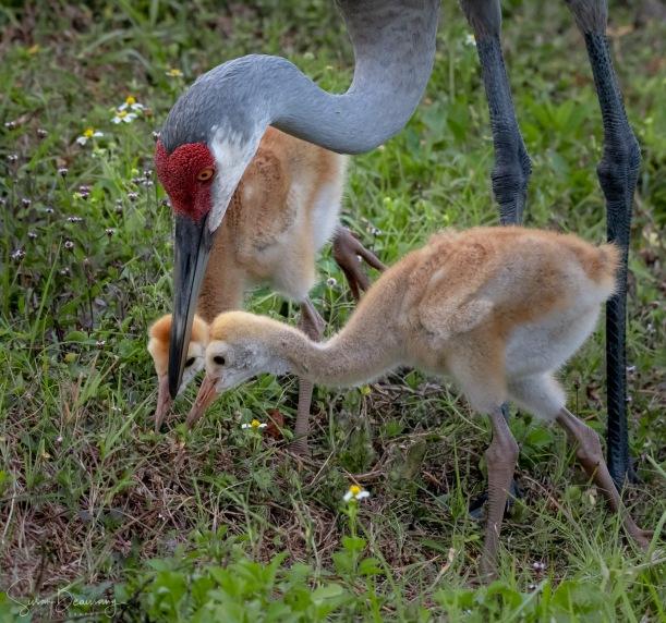 Sand Hill Crane, Baby Sand Hill Cranes, Celery Fields, Sarasota