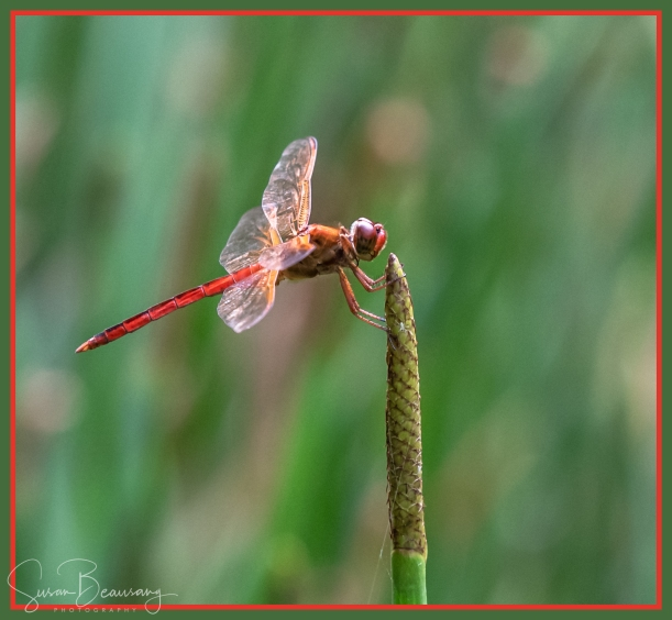 Dragon fly, Scarlet Skimmer Dragon Fly, Florida Dragon Fiies