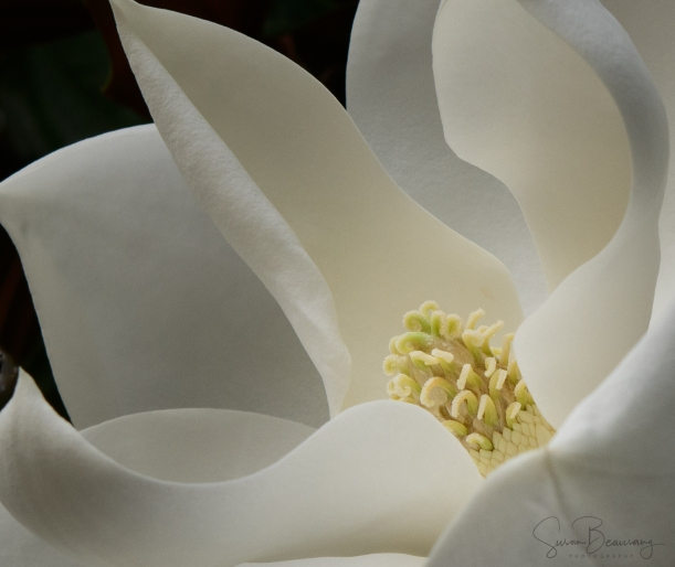 Magnolia, Florida Botanical Garden